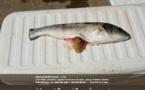 Un gobelet en plastique dans l'estomac d'un poisson à l'embouchure du Golu : Faut-il s'en étonner ?