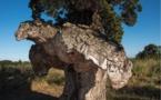 Arburacellu de Ghisonaccia : Le plus bel arbre de l'année est Corse