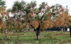 Xylella, la bactérie tueuse d'oliviers, menace l'Europe