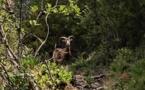 La photo du jour : le mouflon de Bonifatu