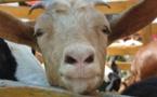 """Contrôles agricoles :  """"les pénalités infligées aux éleveurs mettent en péril l'AOP Brocciu"""""""