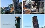Porto-Vecchio :  pin de Tamaricciu, c'est fini
