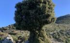 La photo du jour : le chêne d'Omessa