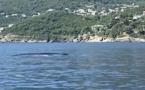 VIDEO - Des rorquals communs filmés à 500m des côtes près de Sagro