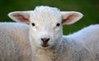 La colère des bergers corses contraints de faire abattre leurs agneaux en Sardaigne