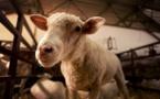 Abattage de l'agneau corse : la guerre de Via Campagnola contre le SMAC