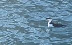 Le pingouin de Bastia prend ses marques...