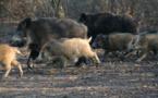 Haute-Corse : la chasse au sanglier prolongée jusqu'à fin février