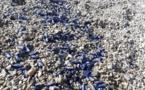 Bastia : La plage de Ficaghjola envahie par les vélelles et les filtres plastiques