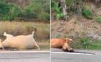Deux vaches abattues sur les bords de la route en Haute-Corse
