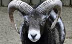 Les mésaventures d'un mouflon de Corse en Wallonie