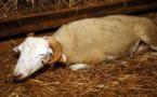 Fièvre catarrhale : Les inquiétudes et la colère et des éleveurs