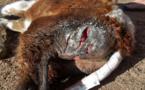 Porto-Vecchio : Les animaux de la ferme de Padula encore visés