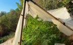 Haute-Corse : les gendarmes trouvent des pieds de cannabis dans le maquis