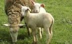 Nouvelle campagne de vaccination contre la fièvre catarrhale ovine