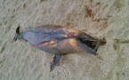 Propriano : La mort du gentil dauphin !