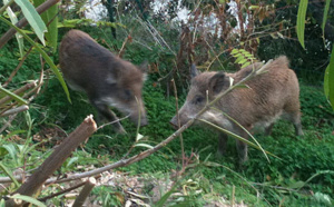 Chasse : Ouverture ce 15 août de la chasse au sanglier !
