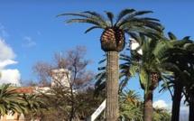 Lutte contre le charançon rouge  des palmiers : Le marché central d'Ajaccio fermé lundi et mardi
