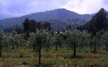 San Giuliano : Livraison prochaine des premiers plants d'oliviers 100 % corses
