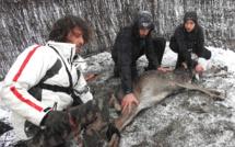 Parc naturel régional de Corse : Première capture d'un cerf en milieu naturel