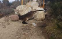 Le cadavre d'une mule au col de Scalella