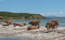 Suerta : Une vache tombe dans un bassin