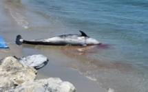 Plage de Pisonaccio :  Un dauphin retrouvé mort