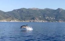 Les dauphins de Centuri