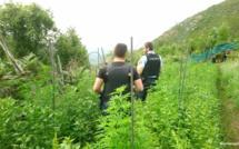 Cuttoli-Cortichiato : à qui est la plantation de cannabis ?
