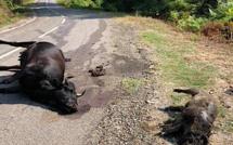 Porri :  Plusieurs vaches abattues en quelques jours