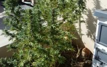 Porto-Vecchio : Les gendarmes saisissent 20 pieds de cannabis et 540 gr d'herbe