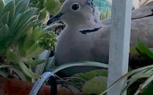 Une tourterelle tisse son nid sur le balcon d'une résidente calvaise !