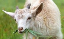 Confinement : l'agneau pascal boudé par les Corses ?