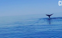 VIDEO - Un rorqual filmé au large du Golfe de Porto
