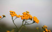 Quels sont les bénéfices de l'Immortelle, cette plante endémique de la Corse ?