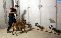 Après Porto-Vecchio, Ajaccio :  des chiens renifleurs pour dépister la COVID-19