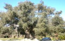 L'arbre de l'année est-il à Oletta ?