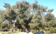 Arbre de l'année 2013 : L'olivier d'Oletta deuxième
