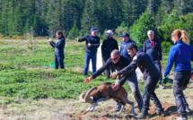 Premier lâcher de mouflons au parc naturel régional de Corse