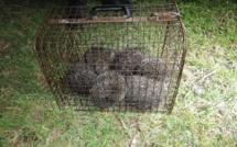 Bastia : ils bravent le couvre-feu avec des hérissons en cage