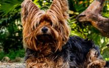Le Yorkshire Terrier, chien préféré des Corses en 2020
