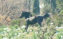 Fiera di u Pratu : Le premier concours national du cheval corse