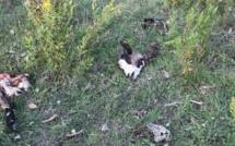 Porto-Vecchio : Le massacre des animaux de la ferme de Padula !