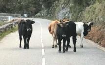 Une femme de 70 ans encornée par une vache à Lozzi