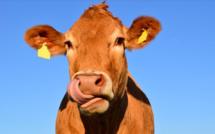 Castellare-di-Casinca : Une voiture percute une vache, un blessé léger