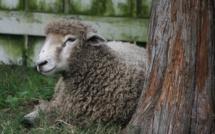 Fièvre Catarrhale : les éleveurs corses inquiets déplorent l'absence de surveillance