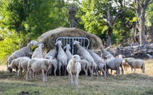 Fièvre catarrhale : en Corse le bilan s'alourdit sans aucune avancée pour les éleveurs
