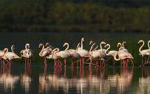 Biguglia : Le ballet des flamants roses