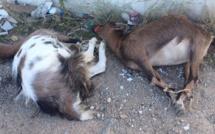 Deux chevrettes bâillonnées et pattes attachées jetées devant un point de collecte de tri sélectif à Suare-Calenzana