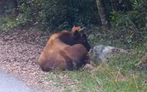 Bastia : Le taureau bloque la route impériale !
